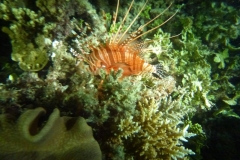 Lion-fish-in-our-night-dive-at-The-Great-Barrier-Reef